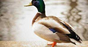 تعبیر دیدن غاز (اردک) در خواب