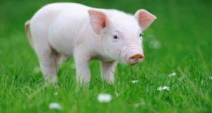 تعبیر دیدن خوک در خواب
