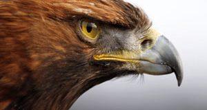 تعبیر دیدن عقاب در خواب