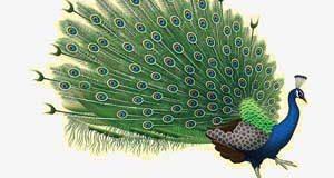 تعبیر دیدن طاووس در خواب