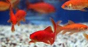 روش نگهداری از ماهی قرمز (ماهی عید)