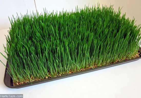 کاشت سبزه عید