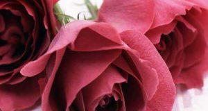 عکس پروفایل گل رز + جملات عاشقانه و دلبرانه