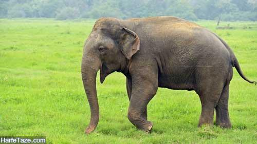 تعبیر خواب فیل