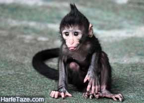 تعبیر دیدن میمون در خواب