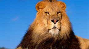 تعبیر دیدن شیر (سلطان جنگل) در خواب