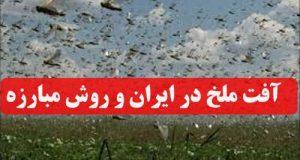 آفت ملخ در ایران با هجوم ملخ های صحرایی + روش مبارزه با افت ملخ
