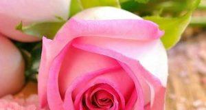 عکس استوری گل زیبا برای اینستاگرام + جملات انرژی مثبت و شاد