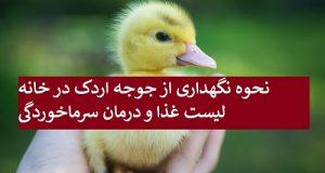 نحوه نگهداری از جوجه اردک در خانه + لیست غذا و درمان سرماخوردگی جوجه اردک