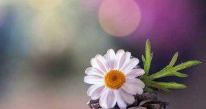 عکس پروفایل گل برای تلگرام و اینستاگرام | اشعار خواندنی درباره گل