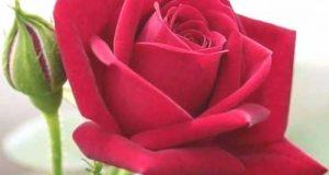 استوری گل رز اینستاگرام | عکس گل رز برای استوری با جملات زیبا