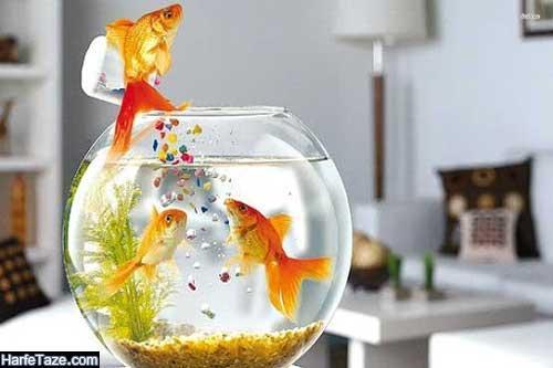 ابتلا به کرونا از طریق ماهی قرمز