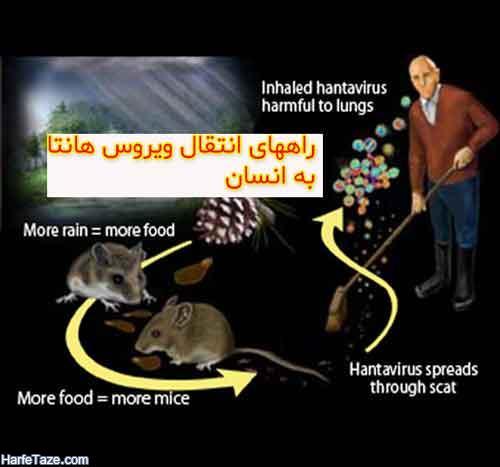 هانتا ویروس چگونه به انسان منتقل میشود