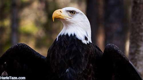 پس زمینه عقابهای سیاه و سفید برای پروفایل