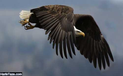 پس زمینه عقاب در حال پرواز برای گوشی
