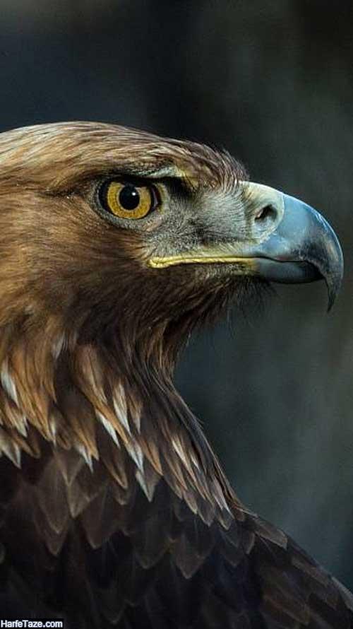 دانلود عکس عقاب با کیفیت full hd