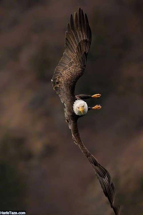 عکس عقاب سیاه تنها