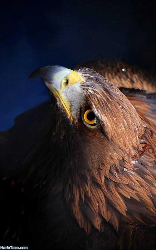Wallpaper-Eagle