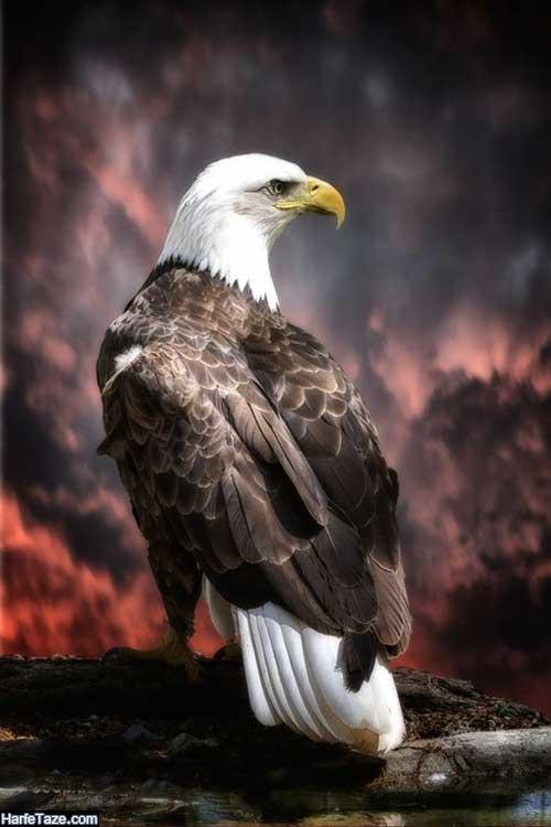 والپیپر عقاب برای گوشی