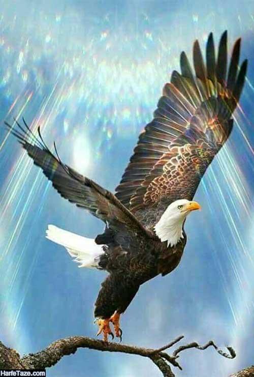 عکس عقاب در حال پرواز برای بک گراند و پس زمینه با کیفیت HD