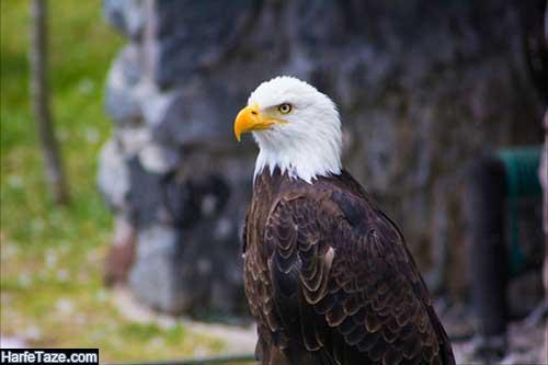 والپیپر عقابهای در حال پرواز برای بک گراند گوشی