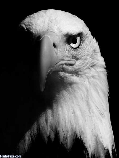 تصاویر زیبای عقاب برای پروفایل