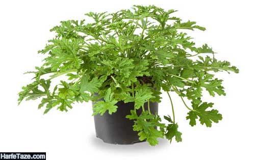 طرز نگهداری گیاه عطر چای (شمعدانی عطری) در آپارتمان و حیاط