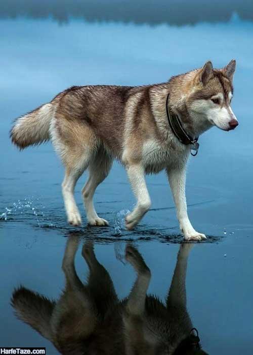 متن درباره سگهای زیبا و وفاداری
