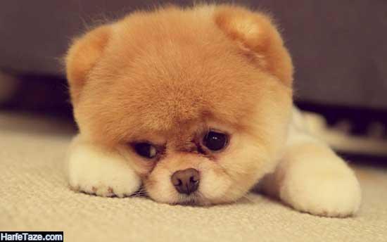عکس سگهای ایرانی برای پروفایل