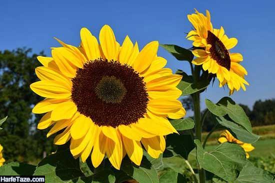 تصاویر فانتزی دشت گلهای آفتابگردان