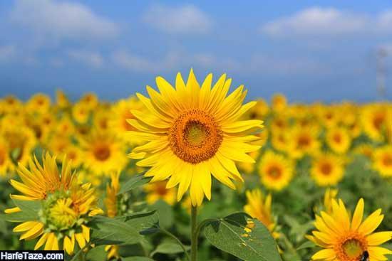 عکس پروفایل گل آفتابگردان در شب