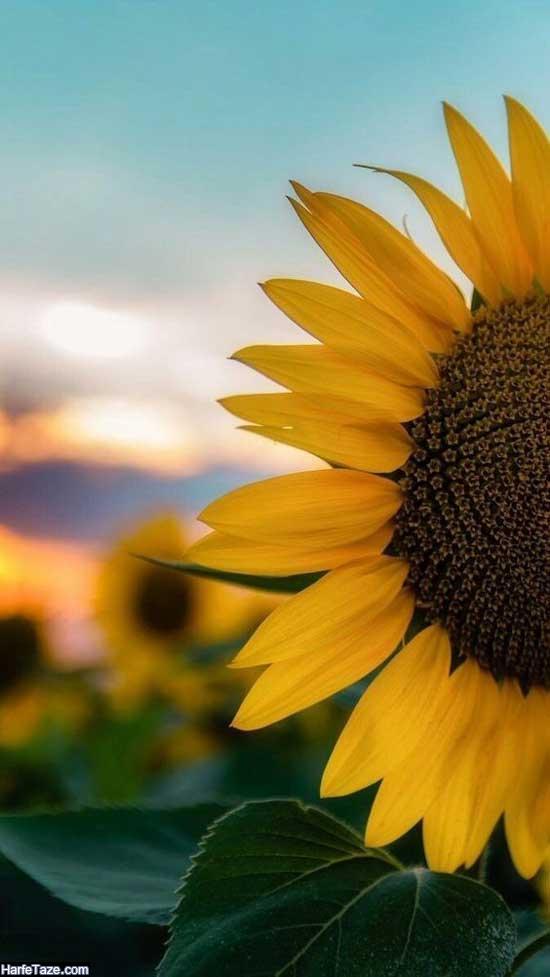 والپیپر زیبای گل آفتابگردان نیم رخ