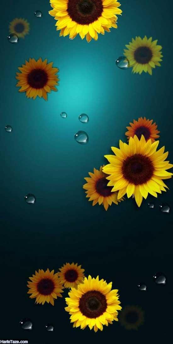عکسهای گل افتاب گردان و قطره ای شبنم