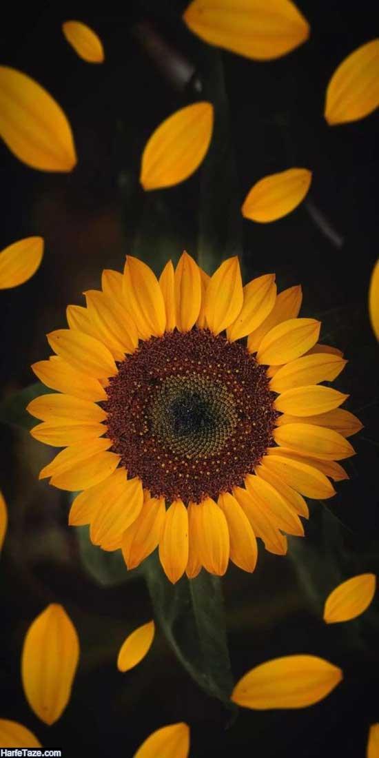 پس زمینه گلهای آفتاب گردان زیبا