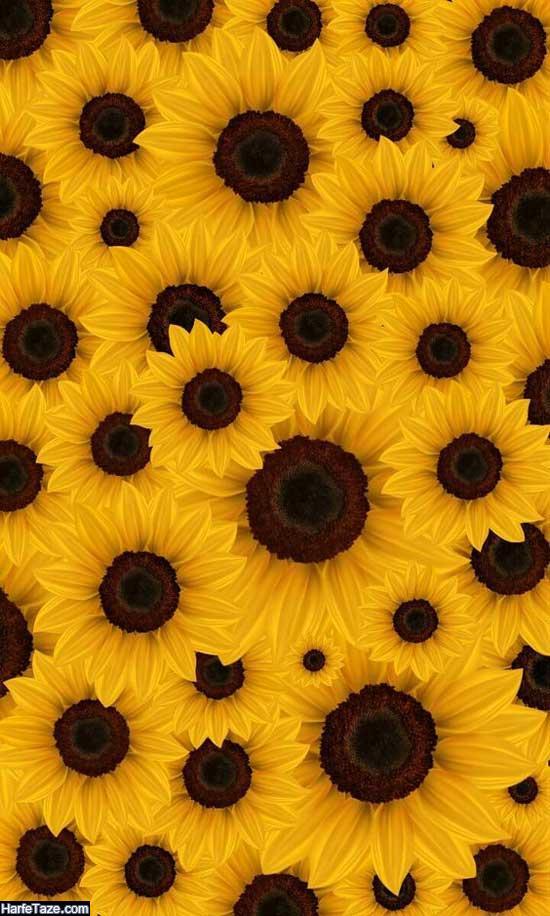 والپیپر گل آفتابگردان برای پس زمینه موبایل