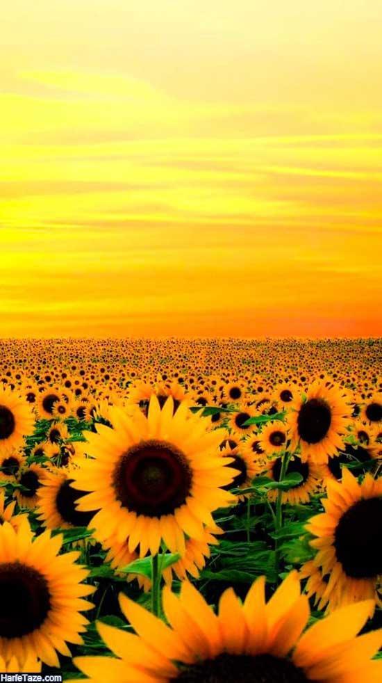 عکسهای زیبای مزرعه گلهای آفتابگردان