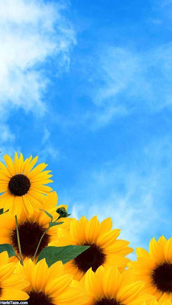 عکس گل آفتابگردان HD با کیفیت بالا برای تم ویندوز
