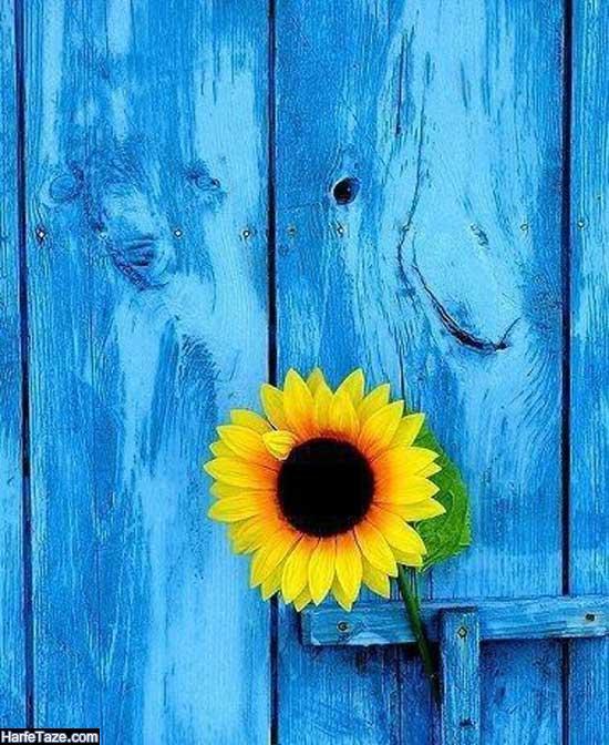 تصاویر تک گل آفتابگردان برای طراحی
