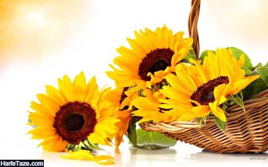 دانلود عکس گل آفتابگردان برای تم گوشی