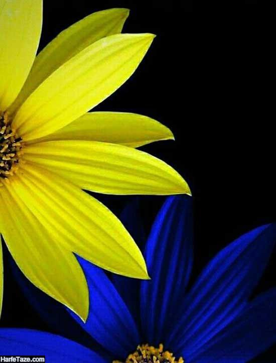 عکس گل آفتابگردان برای پس زمینه موبایل با کیفیت بالا
