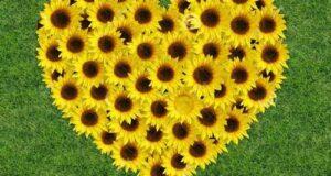عکس گل آفتابگردان برای تم موبایل و پروفایل با کیفیت بالا