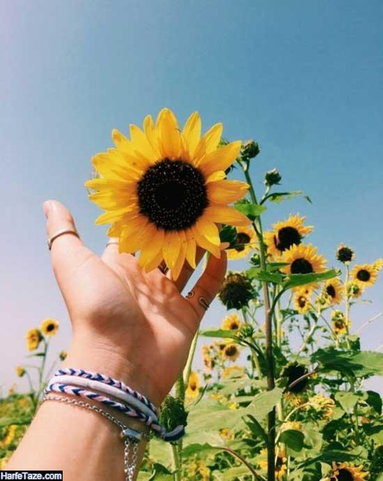 گلهای آفتابگردان زیبا برای پس زمینه