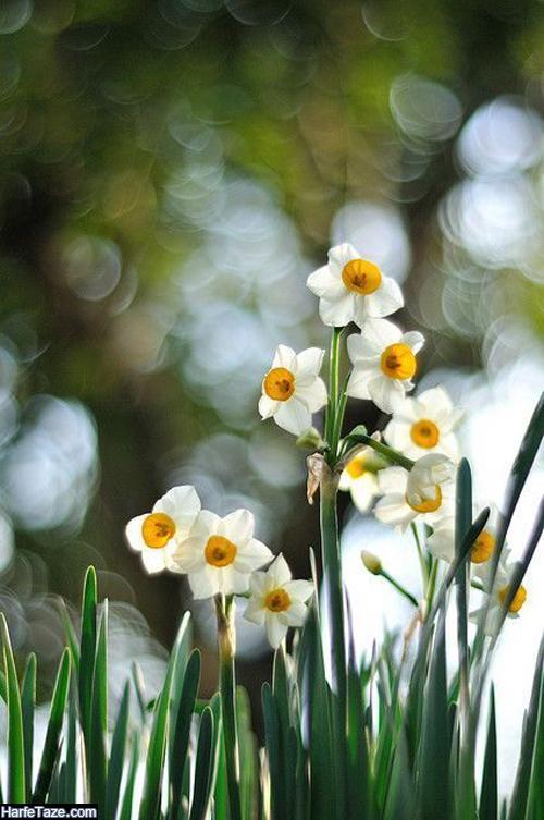 عکس شاخه گل نرگس در باران
