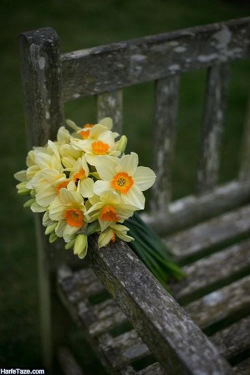 عکس گل نرگس در باران برای بکگراند گوشی