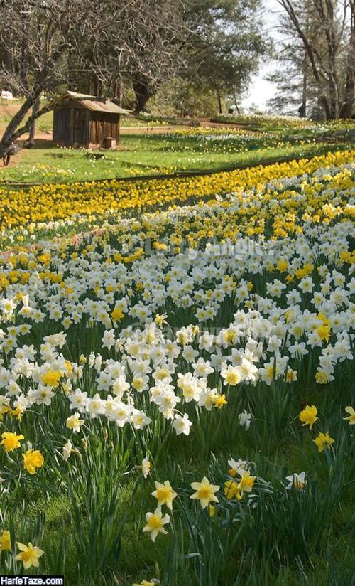 گالری تصاویر گلهای نرجس برای پروفایل
