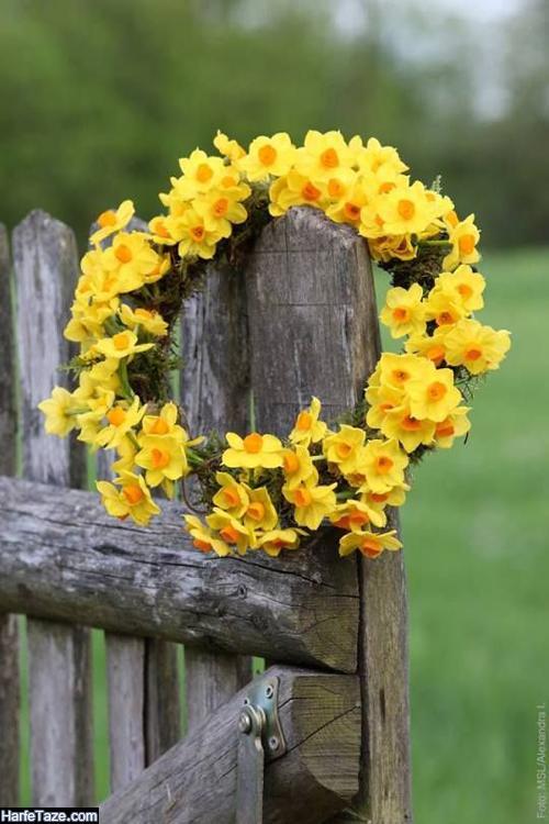 گالری تصاویر گلهای نرجس برای پروفایل و والپیپر