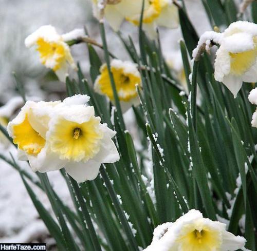 تصاویر گلهای نرجس در برف برای پروفایل تلگرام