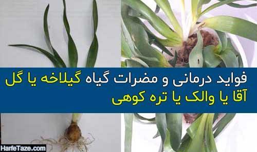 خواص درمانی گیاه گیلاخه یا گل آقا (والک، تره کوهی) + مضرات و موارد مصرف